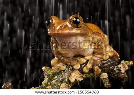 Tree Frog in the Rain - stock photo