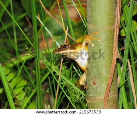 Tree frog in Yasuni National Park, Amazon rainforest, Ecuador - stock photo
