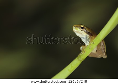 tree frog on a branch ready for the jump