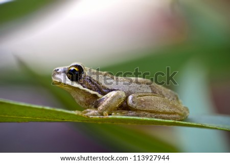 Tree frog on eucalyptus leaf.  Brown Tree Frog, Litoria ewingi. A common and widespread species in Tasmania, Australia, the Brown Tree Frog is an agile climber. - stock photo