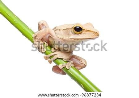 Tree frog on papyrus tree - stock photo