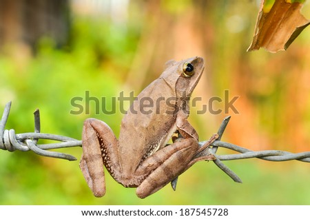 tree frog perched on barbed wire - stock photo