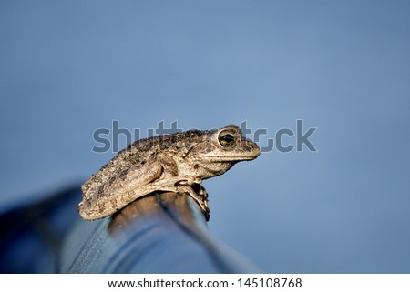 Tree frog (possibly a Cuban tree Frog) perched on the seat of an airboat in Central Florida.  The frog is mostly framed against a blue  sky. Image has ample negative space for copy / text. - stock photo