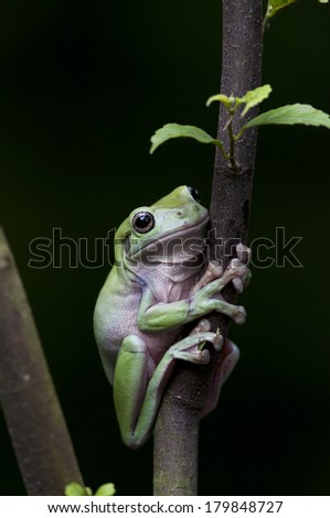 Tree Frog resting on the branch