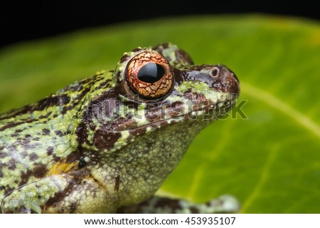 Tree Frog, Tree frog of Borneo, Tree frog on leaf , Frog of Borneo , Frog with isolated black background , Masked Tree Frog (Rhacophorus Angulirostris)