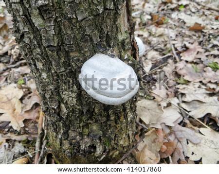 tree fungus - stock photo