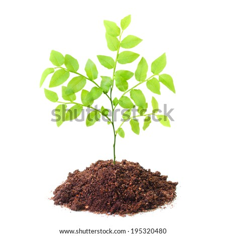 Tree growing in a soil isolated on a white background. - stock photo