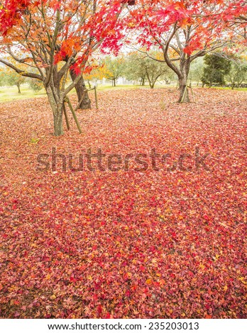 Tree in autumn with red and yellow vivid colors.
