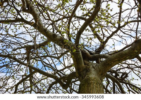 Tree in early spring. View from below. - stock photo