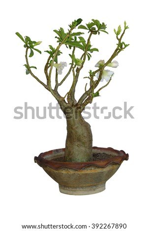 Tree in Flowerpot,Desert Rose,Mock Azalea,Impala Lily isolated on white Background (selective Focus at stem)