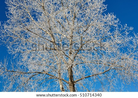 Tree in frost against blue sky. Winter scene