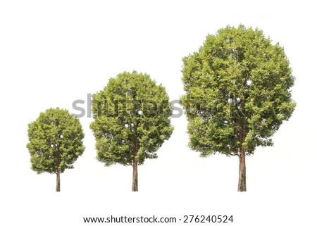 Tree in northeast, Thailand isolated on white background - stock photo