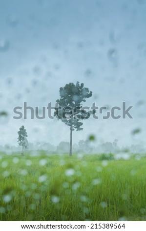 Tree in rainy scene in rice field - stock photo