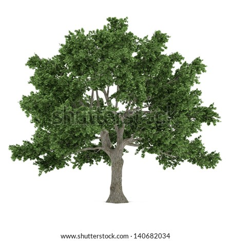 Tree isolated. Acer saccharum maple - stock photo