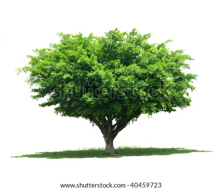 Tree isolated against white background