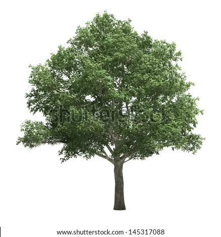 Tree isolated on a white background, no environment