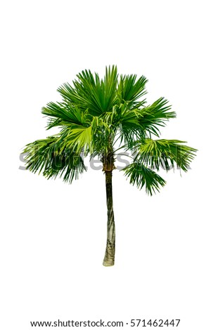 tree isolated on white background. manila palm tree.