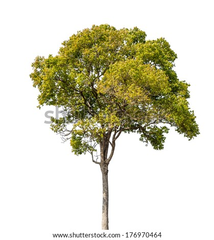 Tree isolated on white with clipping path - stock photo