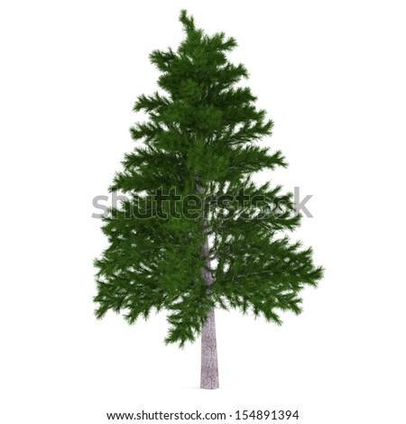 Tree isolated. Pinus fir-tree - stock photo