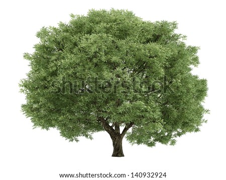 Tree isolated. Salix fragilis - stock photo