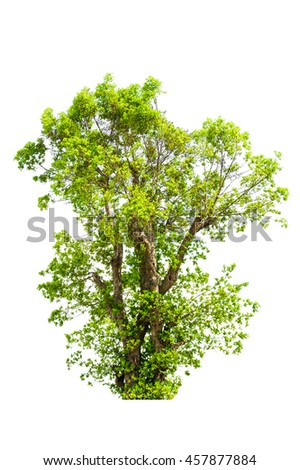 Tree isolated white background