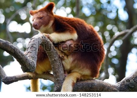 Tree kangaroo - stock photo