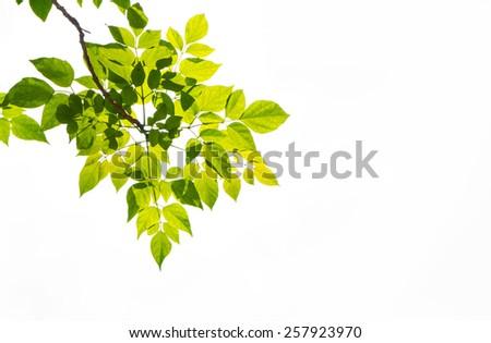 tree leaf on white background - stock photo