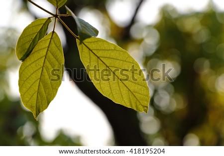 Tree leaves translucent under sunlight. - stock photo