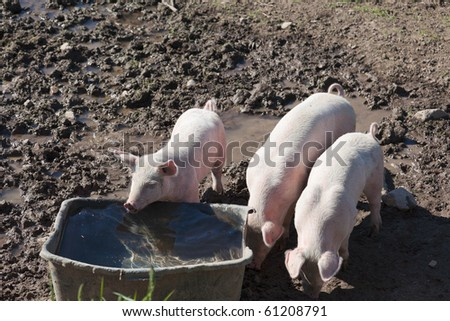 Tree little pigs in paddock - stock photo