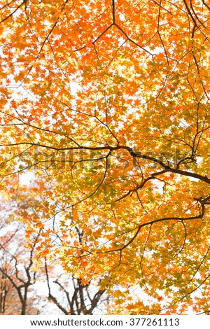 Tree of autumn leaves and maple
