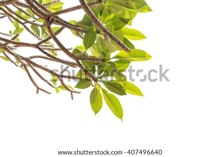 Tree of Frangipani flower isolated on white background