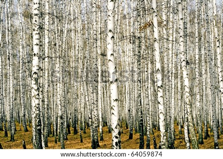 tree of the birch by springtime in wood - stock photo