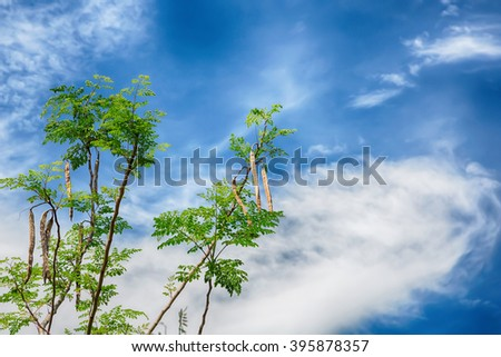 Tree of the Bitter cucumber-chinese (Moringa oleifera Lam.)  and blue sky,Thailand