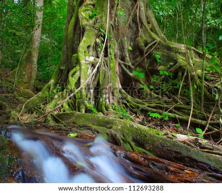 Tree old and big in jungle forest - stock photo