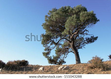 Tree on a hill with sheep grazing underneath