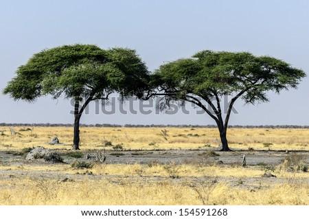 tree on Africa - stock photo
