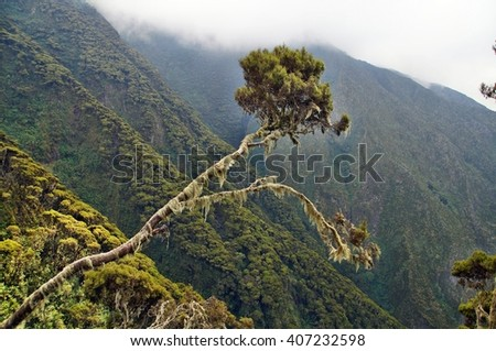 Tree on the slope of Mount Sabyinyo, Uganda - stock photo