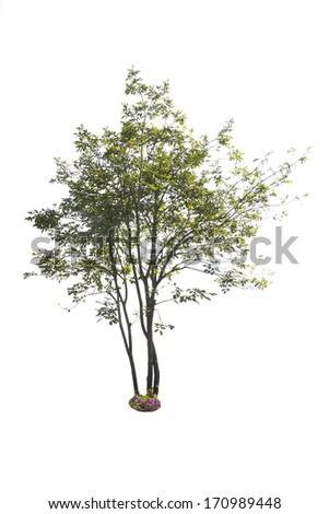tree on white background, isolate object - stock photo