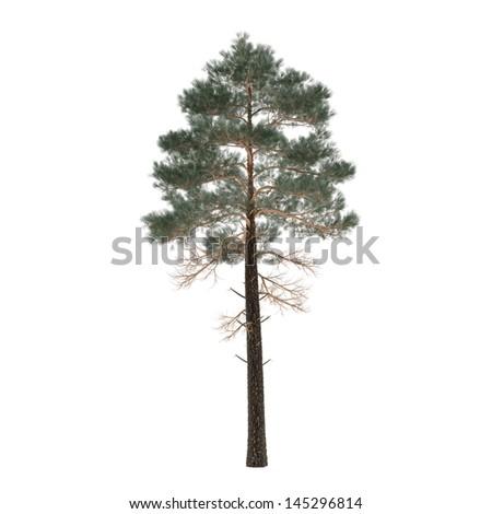 Tree pine isolated. Pinus - stock photo