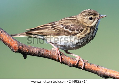 Tree Pipit (Anthus trivialis).Wild bird in a natural habitat. - stock photo