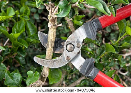 Tree pruning sheers getting ready to cut into a branch during gardening