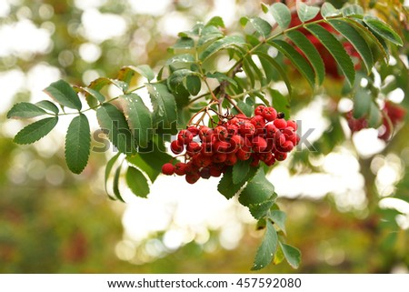 tree, ripe, berry, autumn, fall, red, yellow,  leaf, rowanberry, fruit, branch, nature, rowan, natural, green, backlite, close-up, ash-berry, beauty, outdoors, food, mountain ash  - stock photo