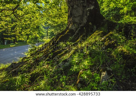 tree roots in green forest, Dilijan, Armenia