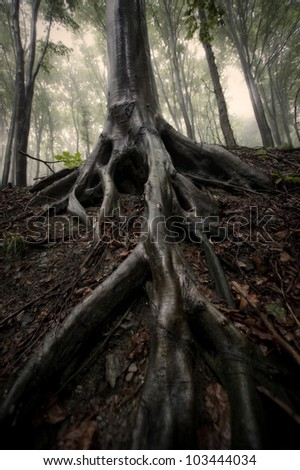 tree roots in misty forest sepia photo - stock photo