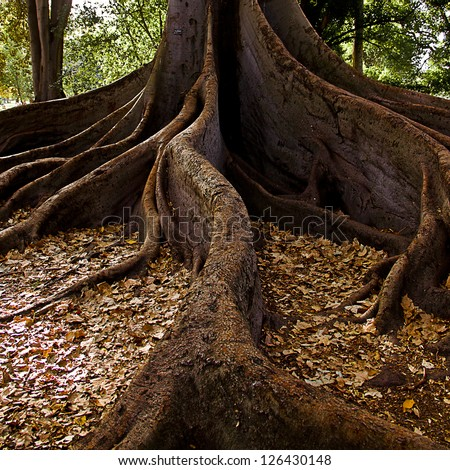 Tree Roots, Moreton Bay Fig. Adelaide, South Australia. - stock photo
