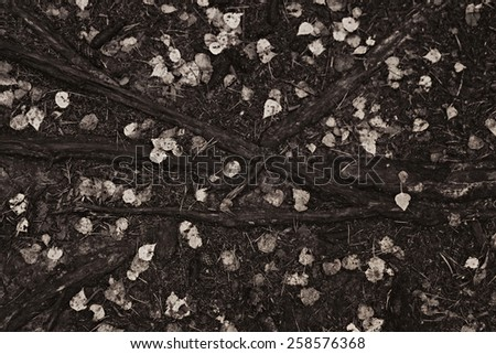 tree roots on the soil close up - stock photo
