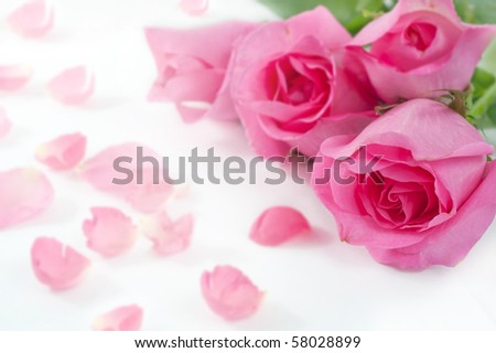 tree rose on white,Rose is a flower symbol represents love, romance in Valentines Day
