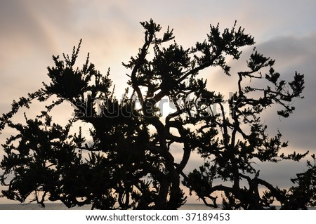 Tree Silhouette at Sunset in Manhattan Beach - stock photo