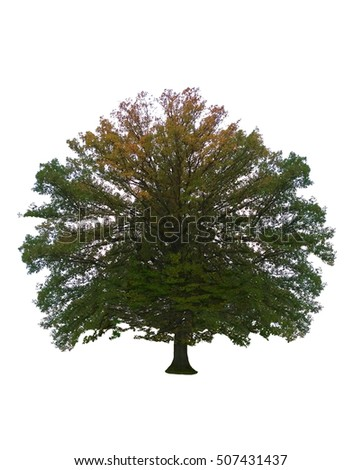 tree slowly changing into autumn colors isolated on a white background