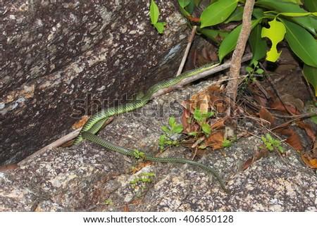 tree snake, chrysopelea, southasia, thailand - stock photo